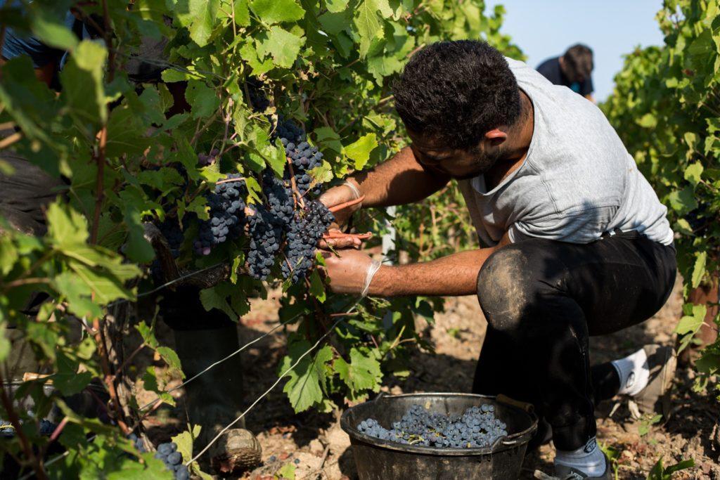 vendange champagne olivier rousseaux